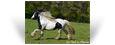 Camaro du Vallon ~ Black Pearl Tobiano Stallion - Owned by Les Irish de l'Olympe - France
