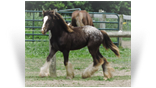 ~ Northern Lights Twisted Carnivale ~ Black Appaloosa - out of Twister - owned by Northern Lights Ranch