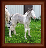 ~Northern Lights Imperial Deception ~ Sabino & Appaloosa - Out of E'rial - Wisconsin