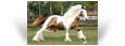 Faith des Pres Secs ~ 1.5yo Double Pearl Tobiano filly - Owned by Royal  Gypsy Horse - Brazil