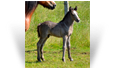 Gealan des Pres Secs ~ 12 day old Smoky Black colt - Owned by Les Pres Secs - France