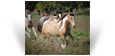 Foxy des Pres Secs ~ 1.5 yo Double Pearl Tobiano Filly - Owned by Northern Lights Ranch - USA